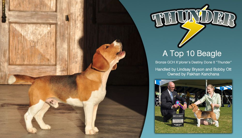 Pin By Bestinshowdaily On Our Advertisers Beagle Breeds Beagle