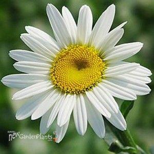 'Becky' Shasta Daisy height: 36-42 spread: 24-36