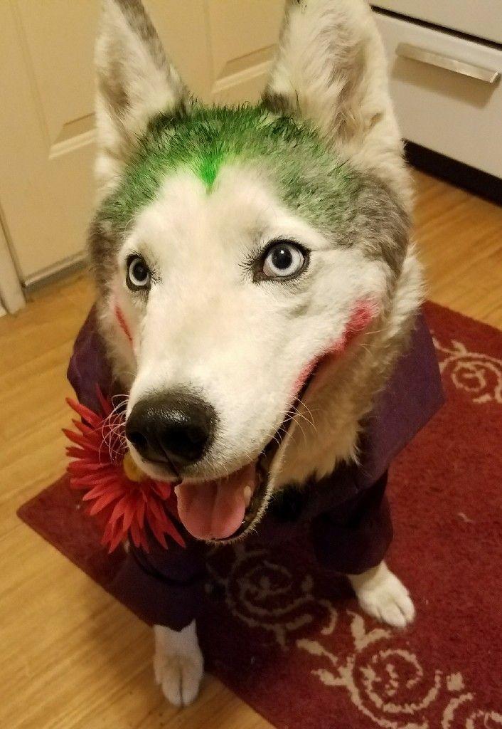Siberian Husky Costume As The Joker Cutest Little Villain In