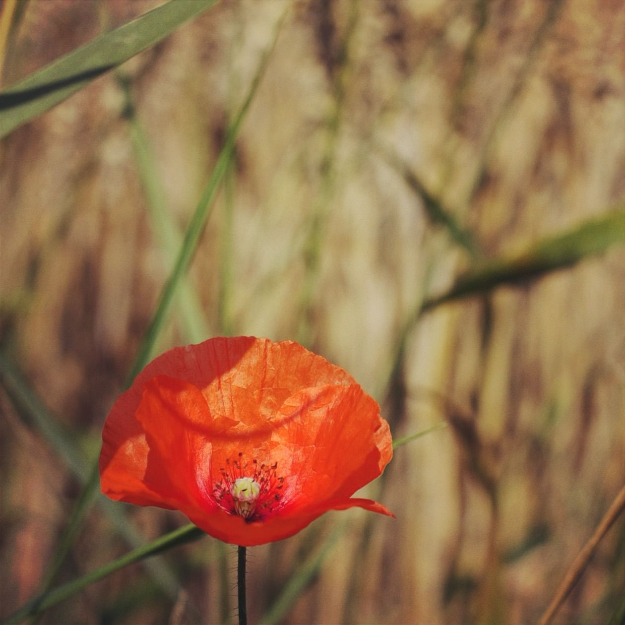 Mohnblume By Noirerora Blume Feld Flower Flowers Mohnblume Natur Nature Naturephotography Noirerora Original Photographers Photography Red