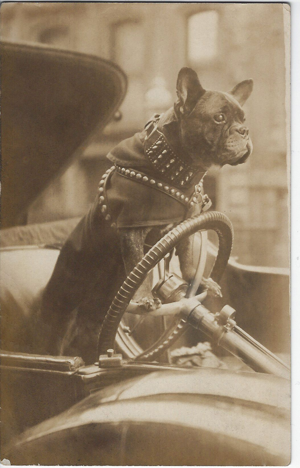 C 1904 1918 Rppc Of French Bulldog Wearing A Spiked Collar And