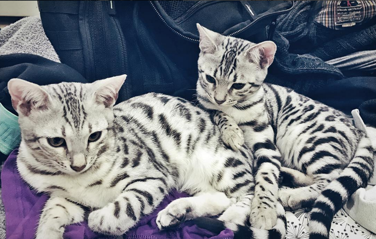 The beautiful silver bengal cat sisters Lady Lyra of
