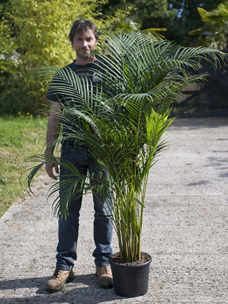 Chrysalidocarpus lutescens Areca Palm Areca palm, Plants