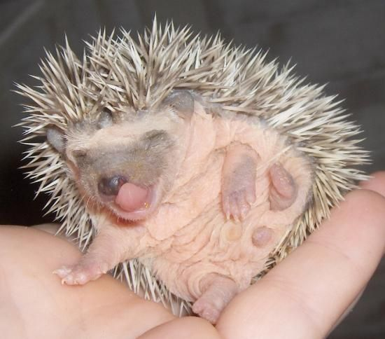 hedgehog,pocket pets,small animals,baby,pet,pets,hedgies,hedgehogs,animal,animals,hedgie,pocket pet,small animal,babies