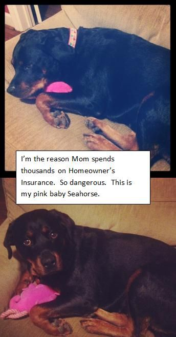 Dangerous Rottweillerdue To Breed Restrictions My Insurance Is