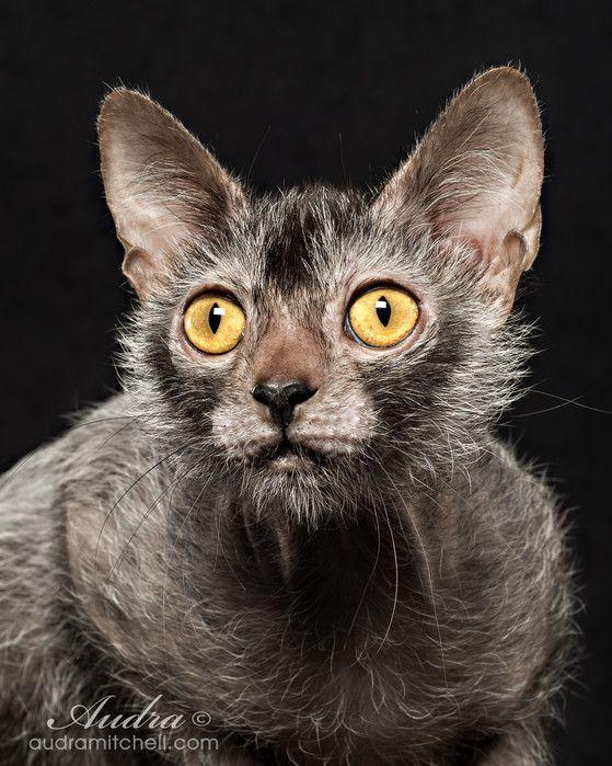 Lykoi Kitten For Sale Werewolf Cats Wolf Cats Natural Mutation Lykoi Kittens For Sale Werewolf Cat Lykoi Cat Cat Breeds