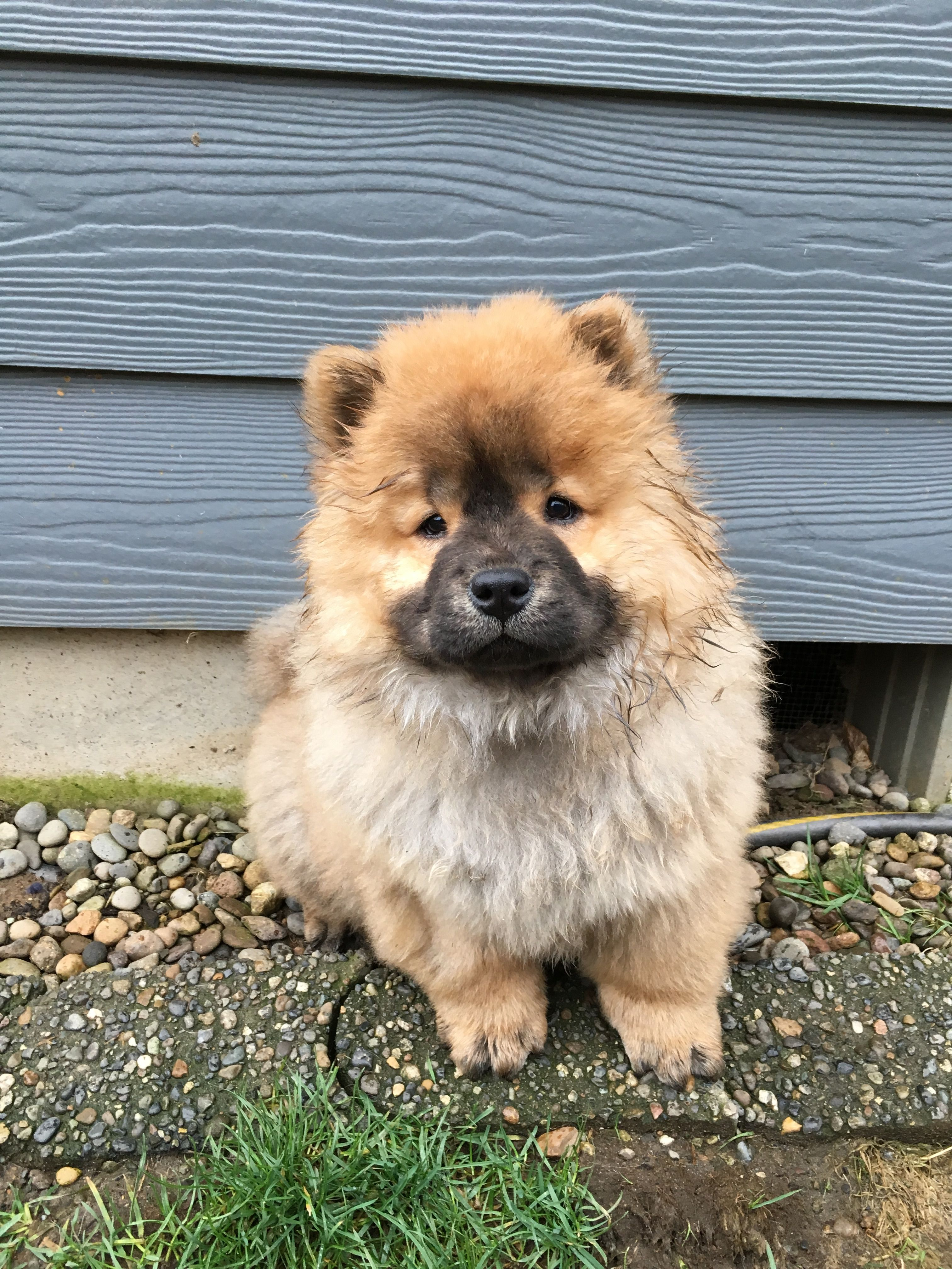 Pin By Deana Simmons Faust On Chow Chows Chow Chow Dogs Animals