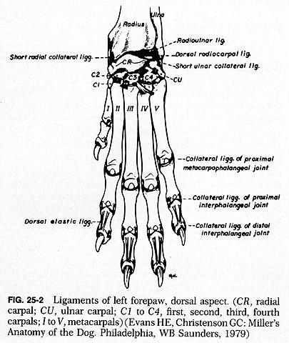 Dog Leg Skeletal Anatomy Ii Third Carpal Bone Iii And Fourth