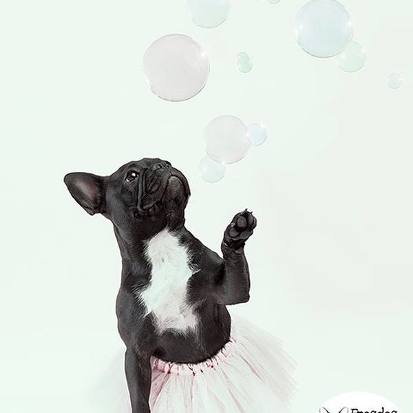 A French Bulldog Wearing A Tutu Chasing Bubbles You Can Thank Me Later Bubbles Hernamewaslo Pet Photography Studio Animal Photography Pet Photographer