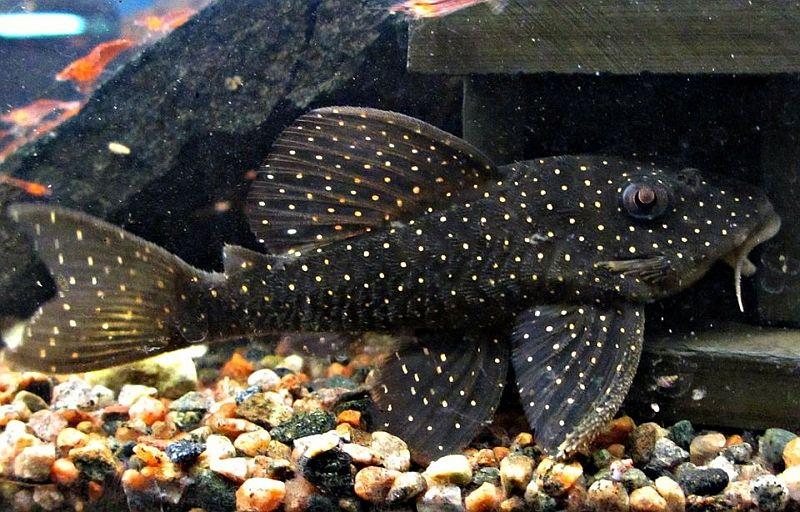 L004 Angelicus Pleco Aquarium Catfish Fish Pet Catfish