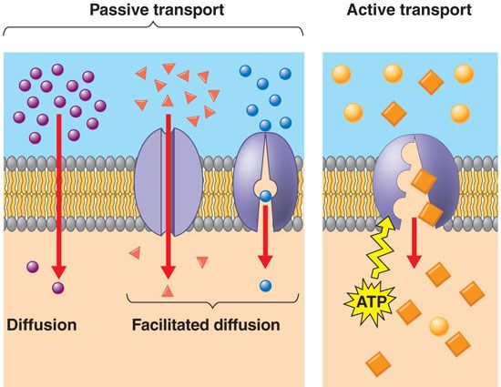 Passive Vs Active Transport Facilitated Diffusion Biology Units Biology