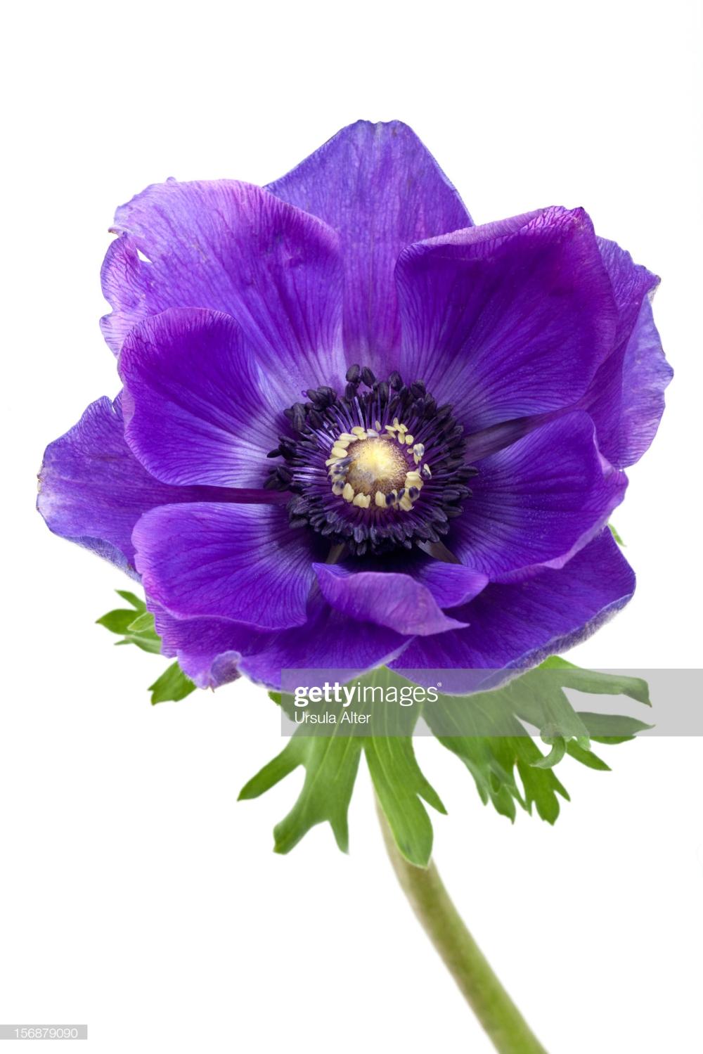 Blue Anemone Flower Anemony Cvety Maki