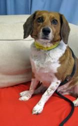 Adopt Daisy On Corgi Mix Beagle Dog Adoptable Beagle