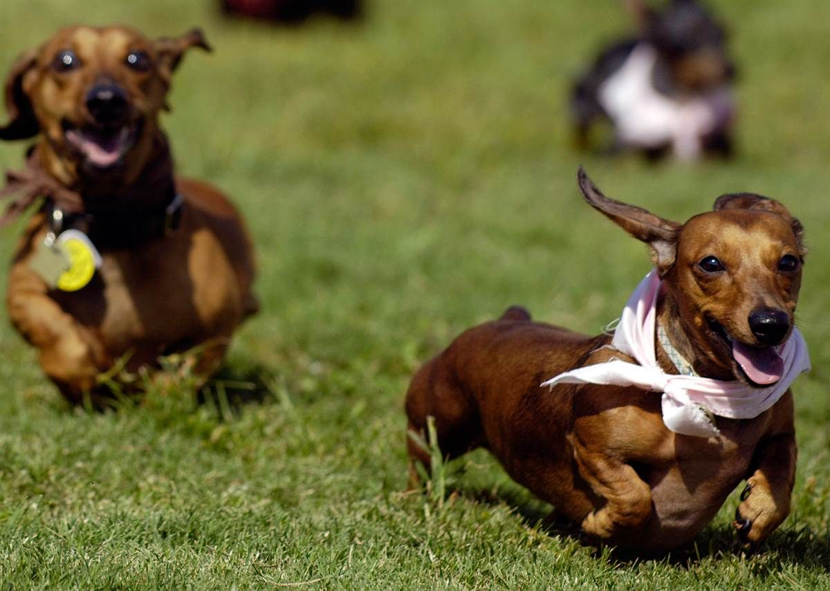 Image Detail For Stephen Morton Ap File Dachshund Known For Its