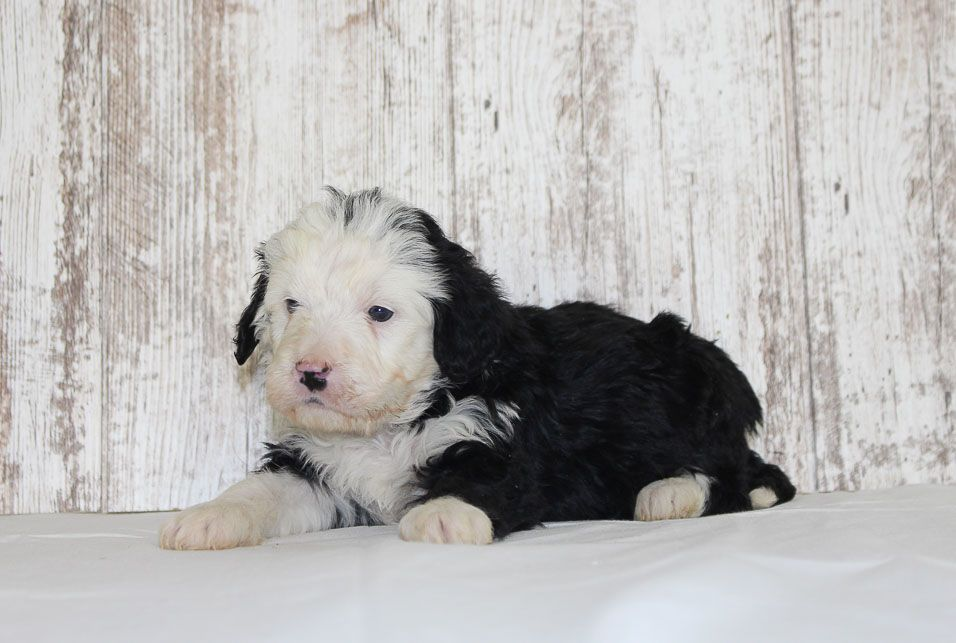 Max A Male Bernedoodle Puppy For Sale In New Haven Indiana