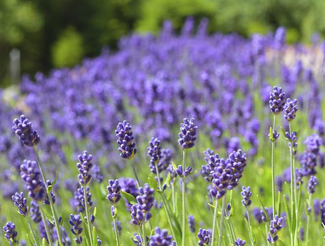 How To Grow And Maintain Lavender Garden Flowers Growing
