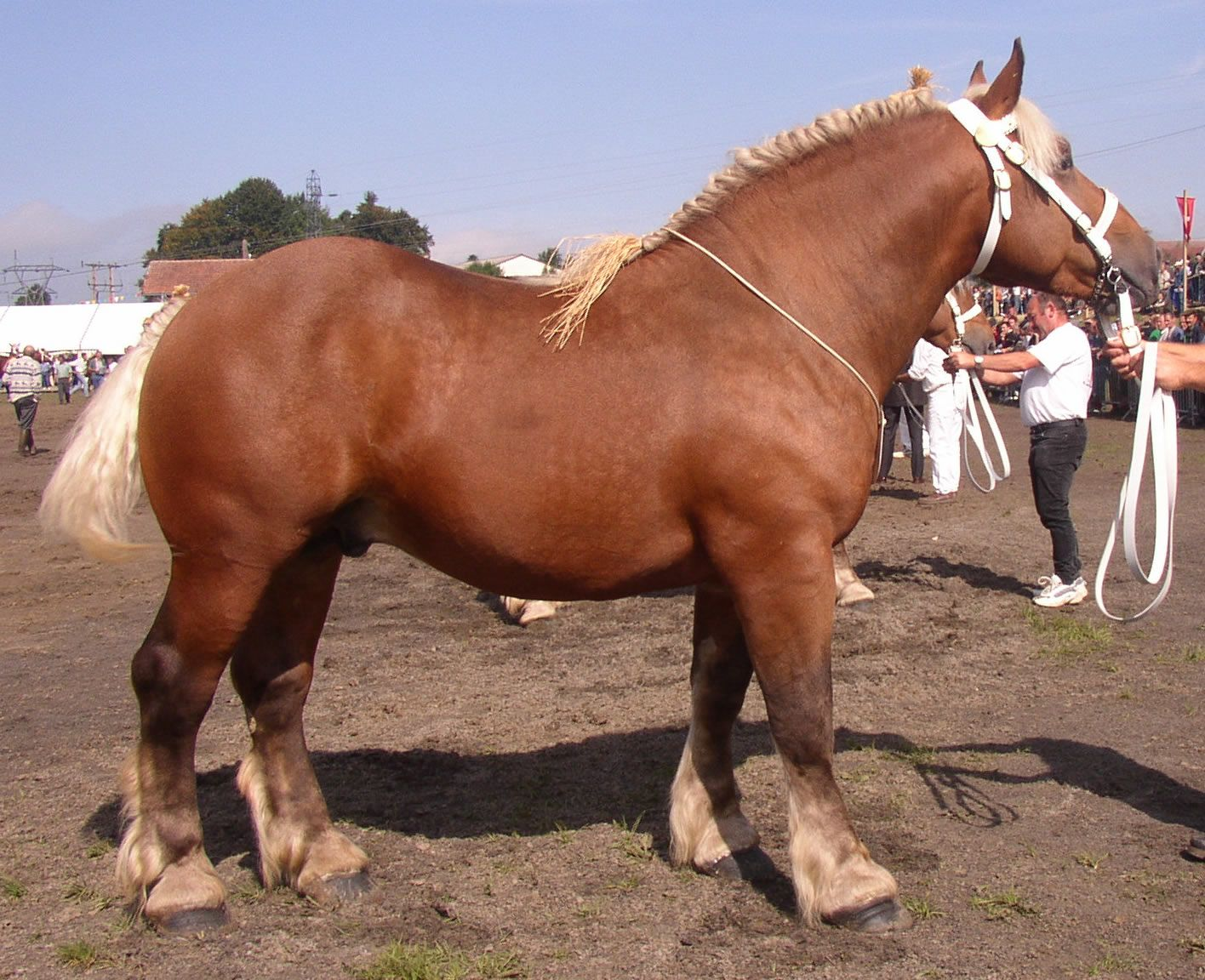 The lovely Comtois, a French draft breed. They look ... - photo#6