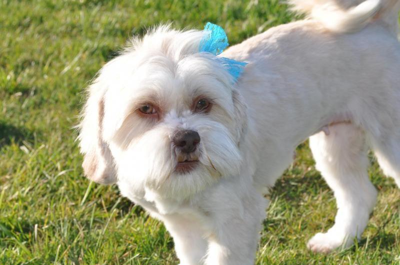 Meet Hazel Grace A Petfinder Adoptable Lhasa Apso Dog Olympia