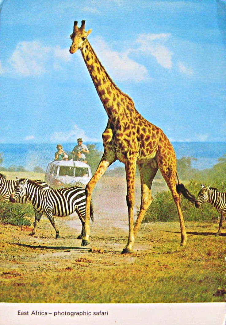 Giraffes and VW Kombi,  East African Safari 1960s