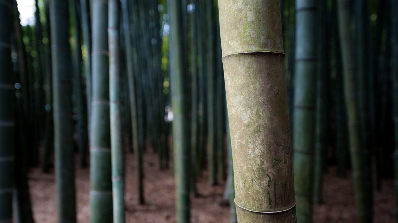 Bamboo, Hokokuji temple in Kamakura, 報国寺 (鎌倉)