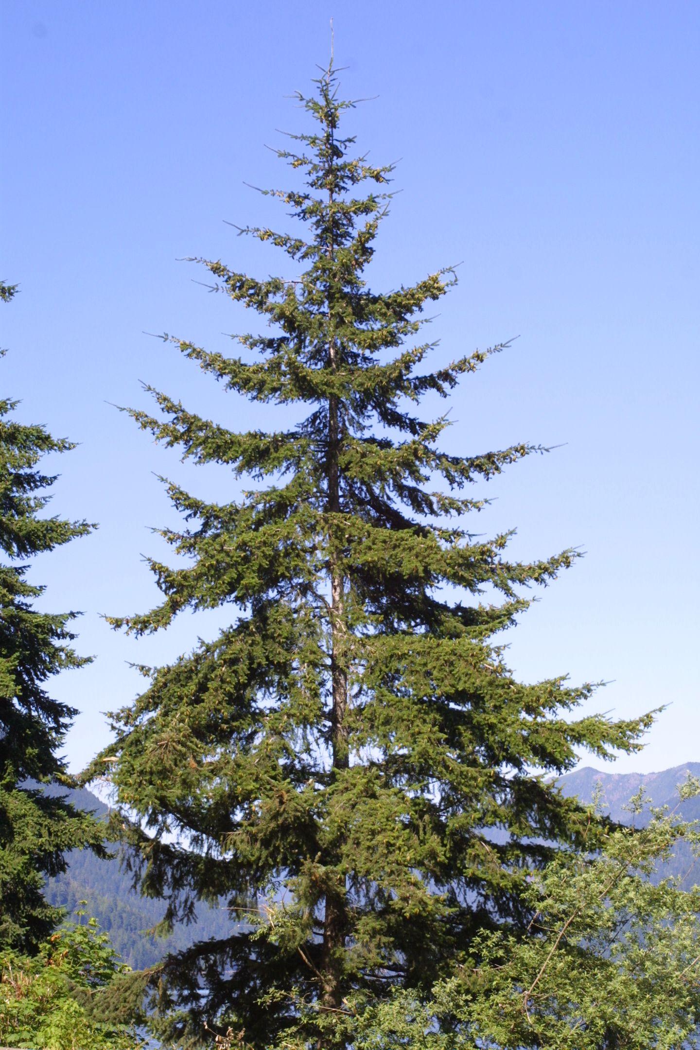 Douglas Fir Pseudotsuga Menziesii Tree Seed Online Ltd