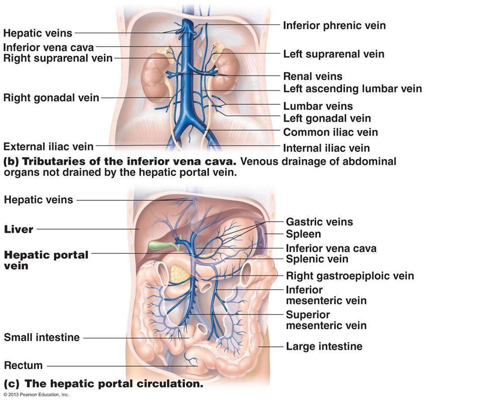 The Cardiovascular System: Blood Vessels | Nursing | Pinterest ...