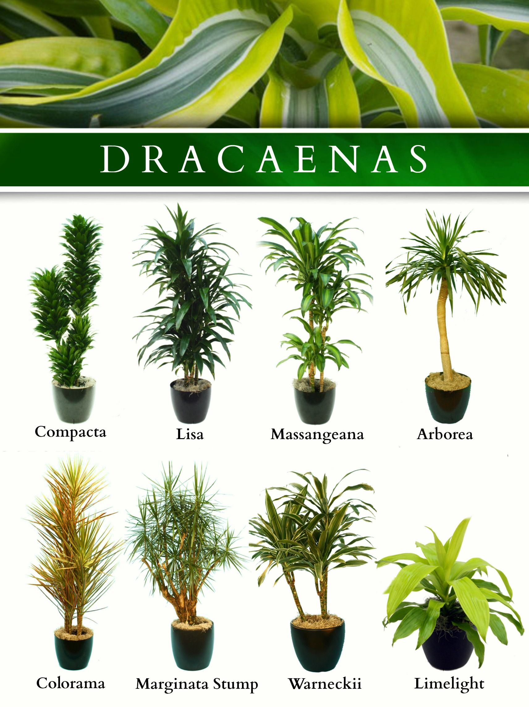 c868fca629330af357ffc60618e3085d Types Of Tree Palm House Plant List on house plant umbrella tree, indoor palm plants types, like palm plants types, house with palm trees, dracaena house plant types, house plants that look like trees, lady palm tree types, house plant schefflera actinophylla, indoor ponytail palm tree types, small indoor palm tree types, identify tree types, house plants palms identify, house plants at lowe's, house plant rubber tree, south florida palm tree types, double trunk palm tree types, home plants types, house plant banana tree, palm names types,