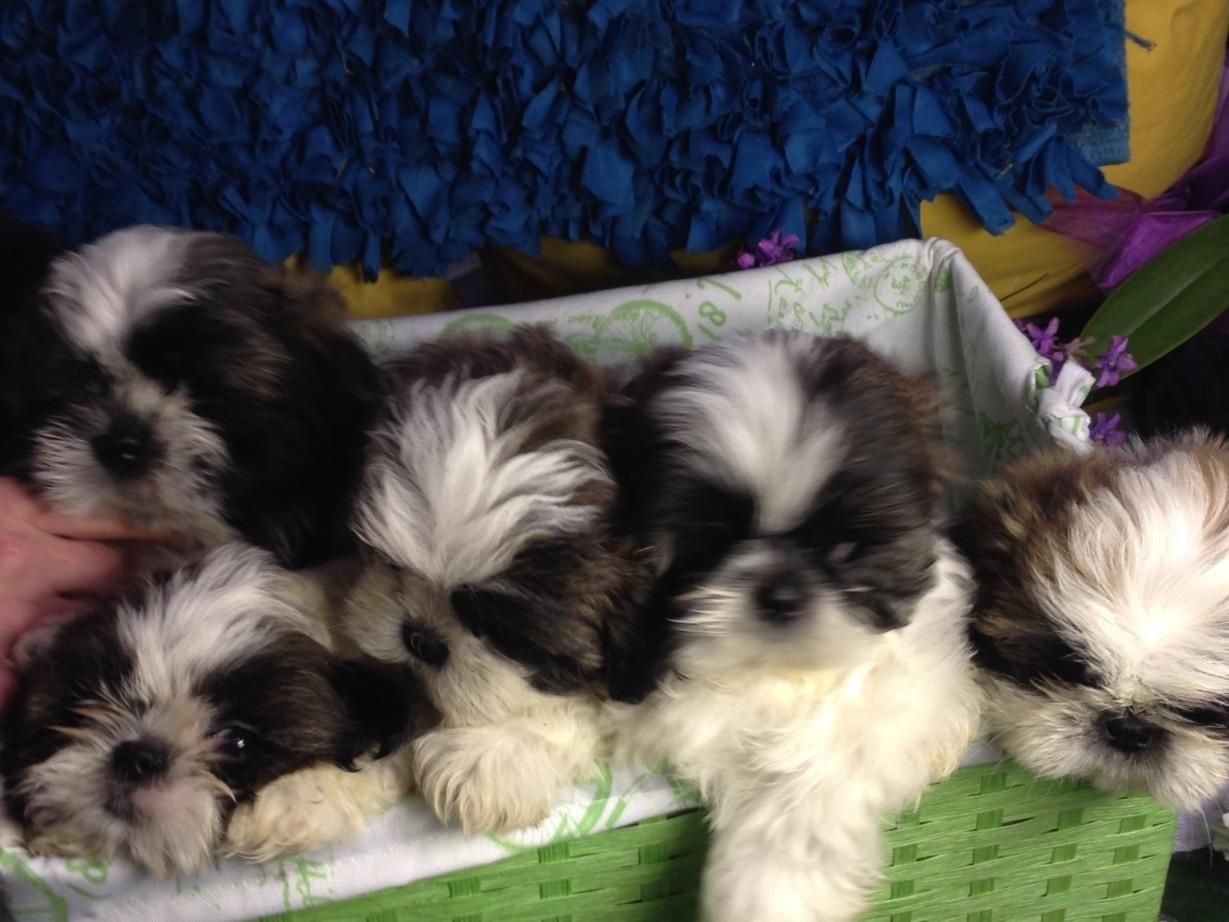 Pamela Prible In Orland Park Il On American Kennel Club Marketplace Puppies American Kennel Club Animals