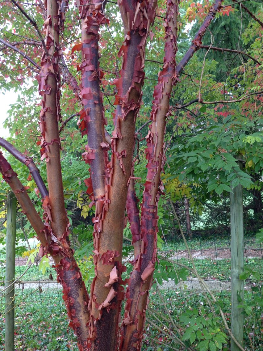 Acer griseum | Small trees for garden, Ornamental trees, Trees and shrubs