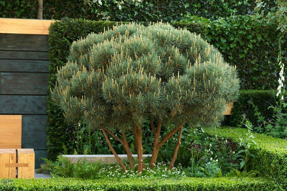 pinus sylvestris watereri arbres c p e multi troncs pinterest conif res plantes et tronc. Black Bedroom Furniture Sets. Home Design Ideas