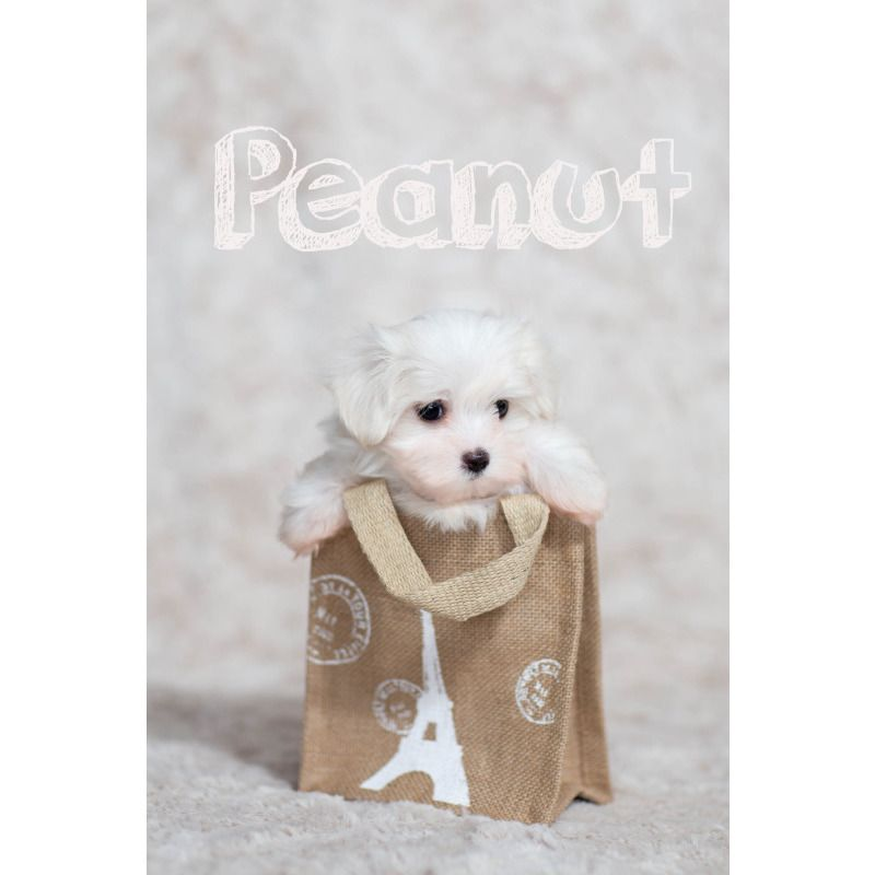 Toy Maltese For Sale At Teacups Puppies South Florida Teacups