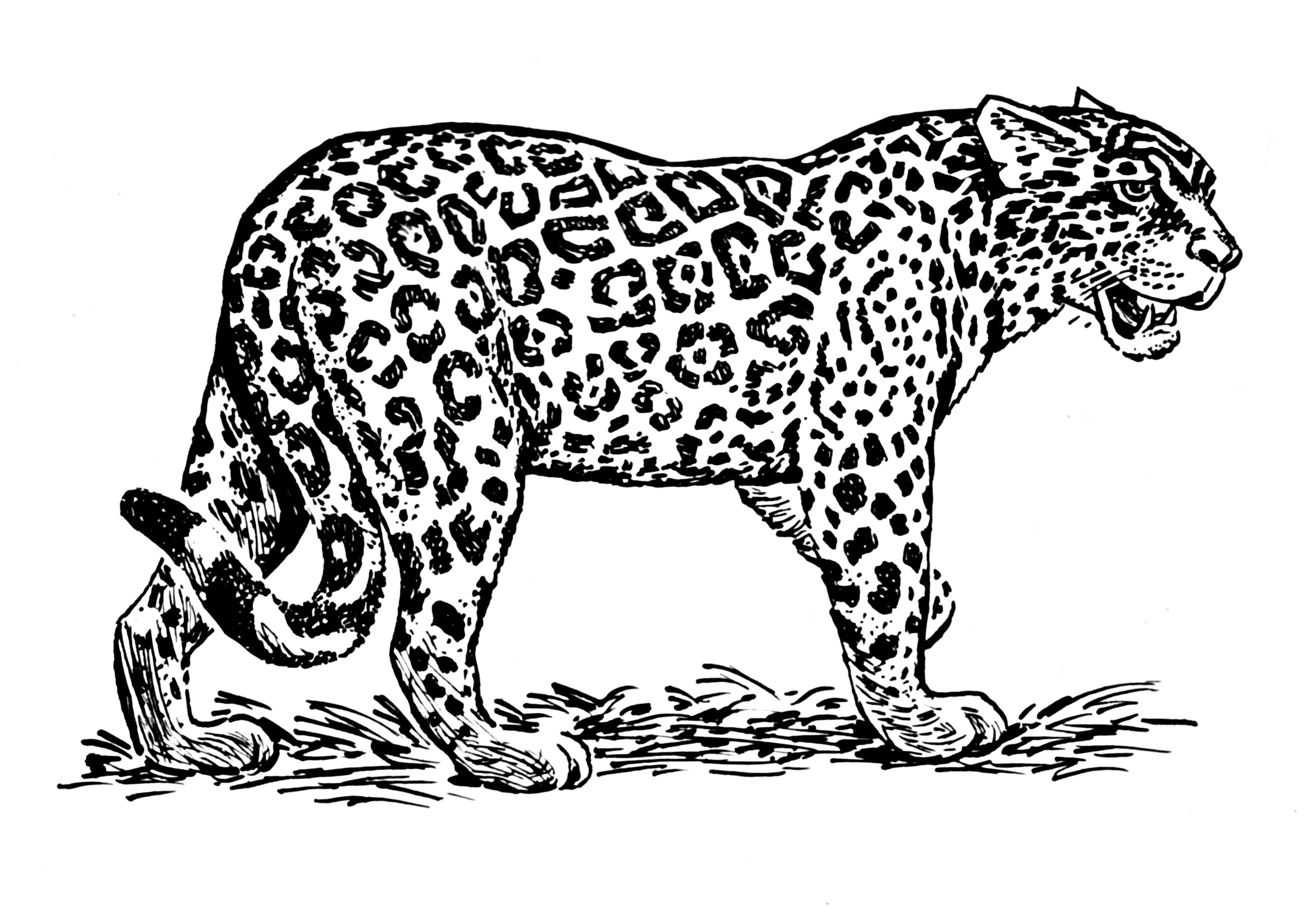 8 Remarquable Jaguar Coloriage Photos Dessin Jaguar Coloriage Coloriage Animaux
