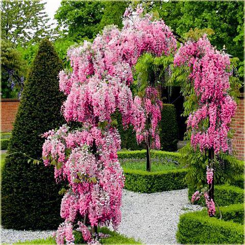 Glicynia Kwiecista Rozowa Wisteria Floribunda Plants Pink Perennials Flowering Vines
