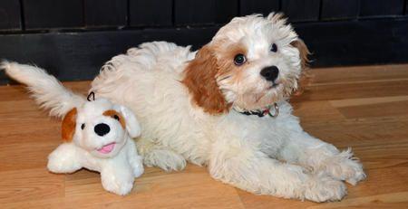 Bernie The Cavalier King Charles Spaniel Poodle Poodle Mix