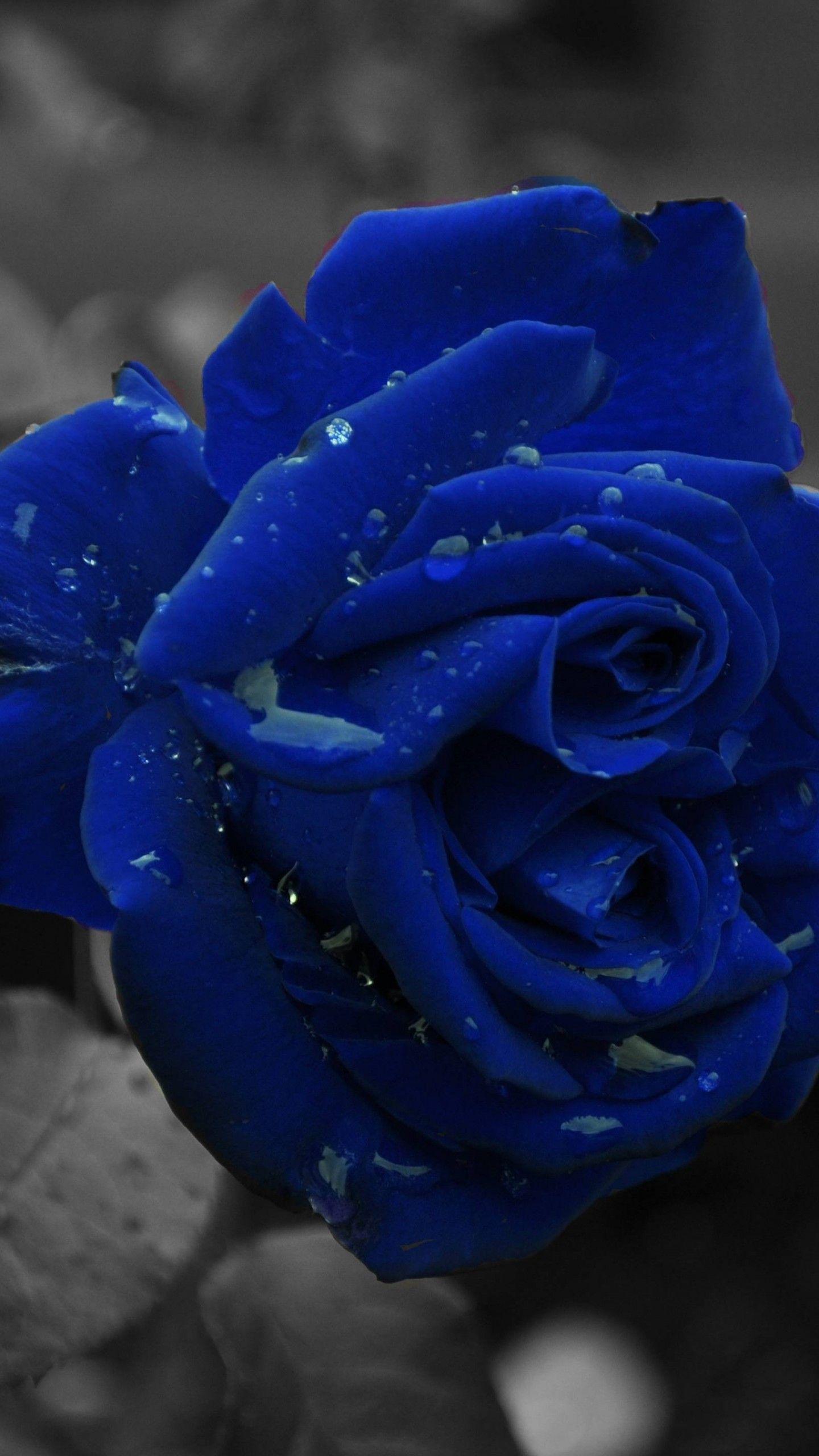 Blue Roses Rose Flower Wallpaper Blue Roses Wallpaper Blue Flowers Background