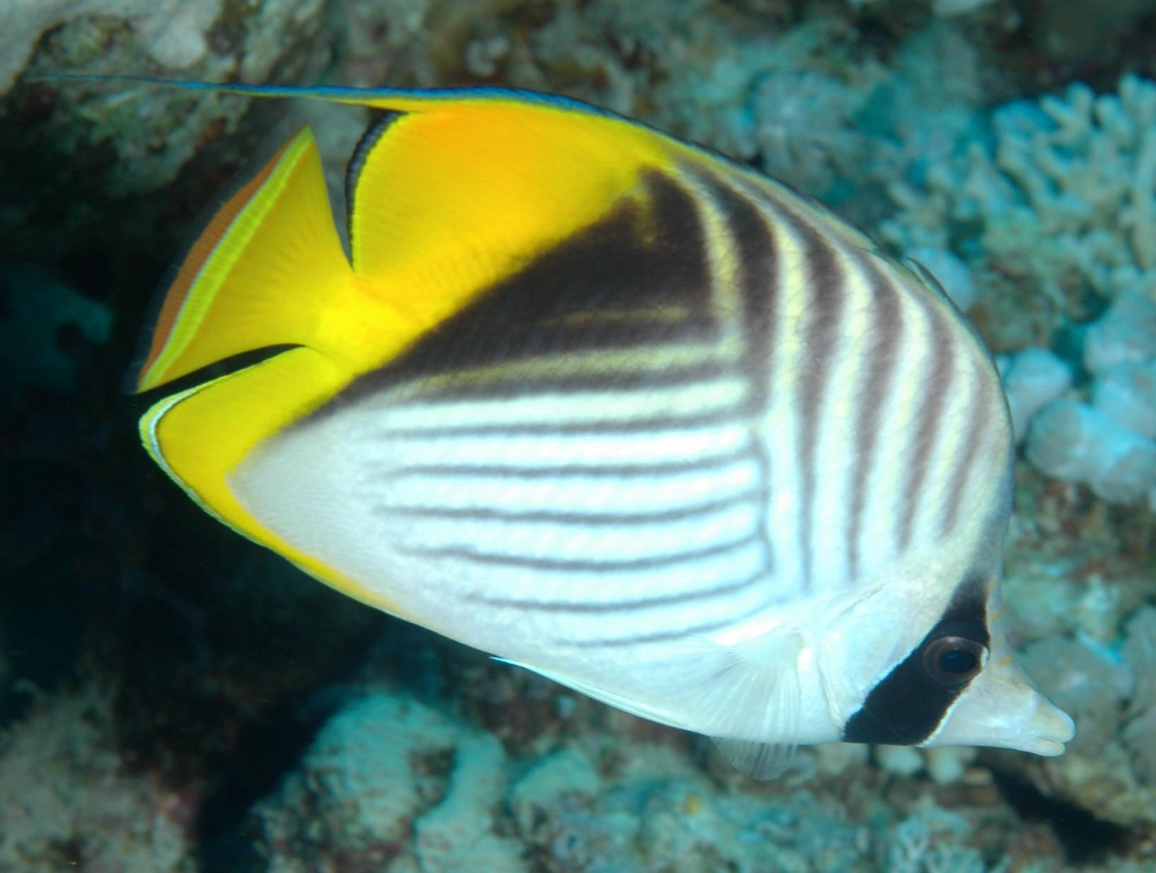 Threadfin Butterflyfish Chaetodon Auriga Ocean Animals Ocean Treasures Under The Sea