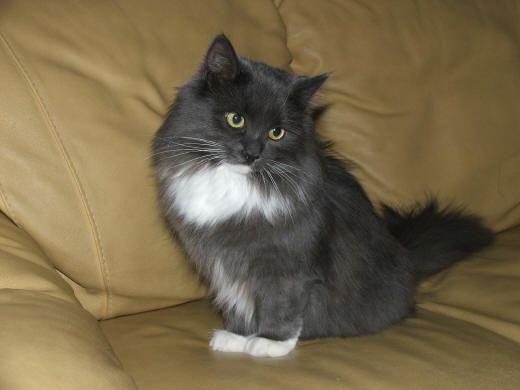 Tailsofmycat Com Siberian Cat Siberian Kittens Russian Blue