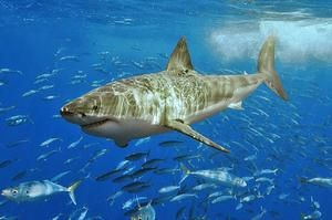 tripbucket | Dream: Dive with a Great White Shark