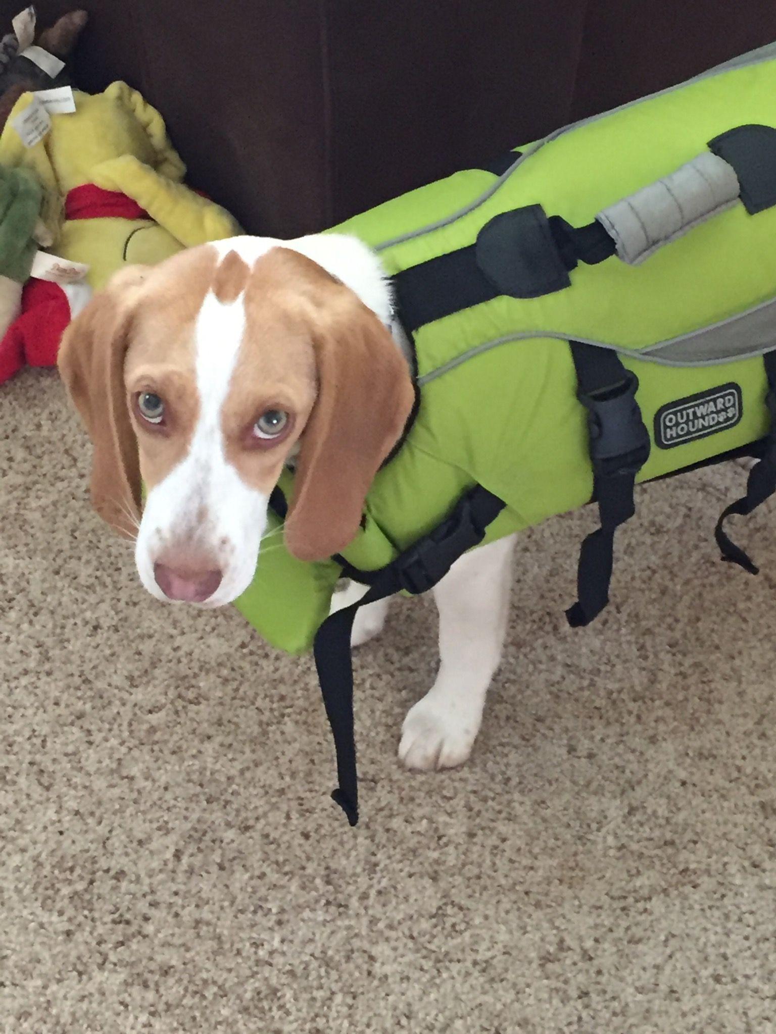Pool Time Beagle Safety Life Jacket Chocolate Beagle Beagle