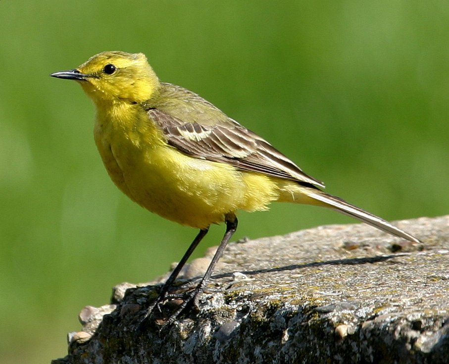 wag tails wagtails wild about britain birds yellow. Black Bedroom Furniture Sets. Home Design Ideas