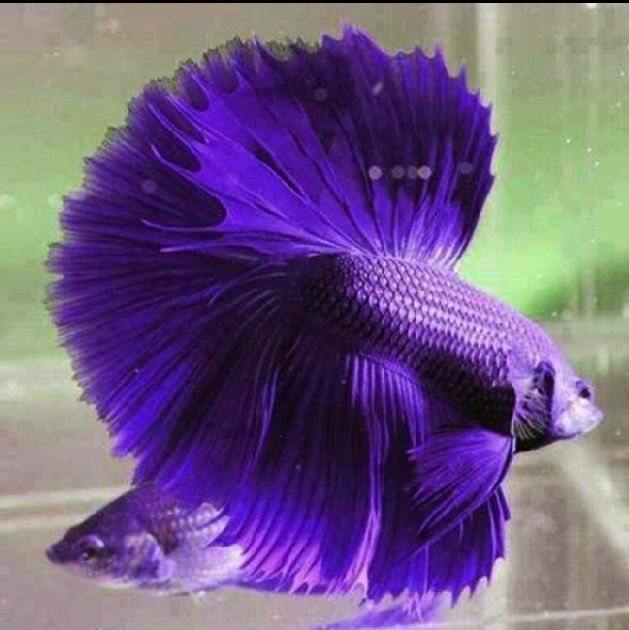 Purple fighter fish fauna nice and funny pinterest for Purple freshwater fish