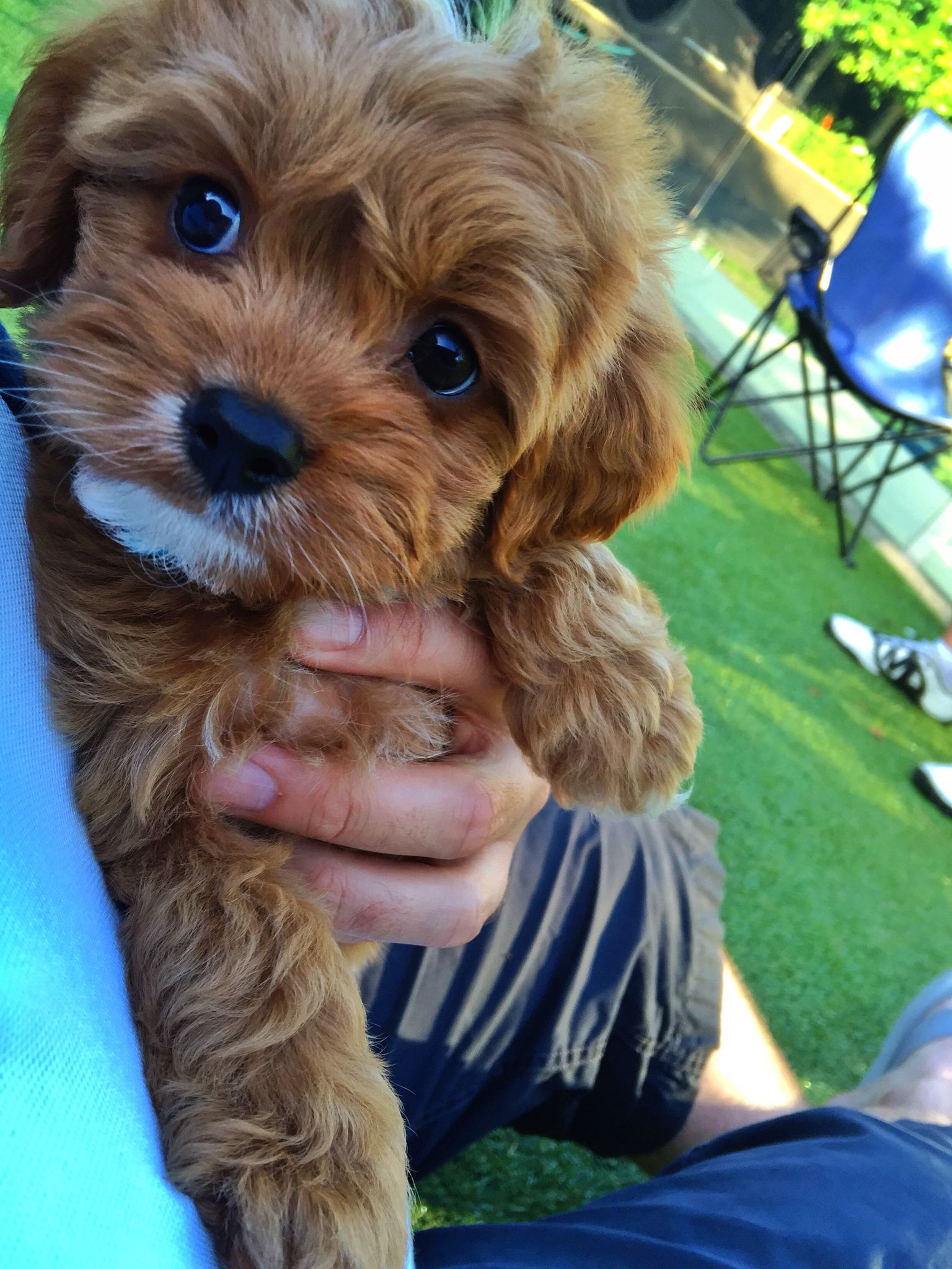 Cavoodle Puppy More Cute Baby Animals Cute Puppies Cute Dogs