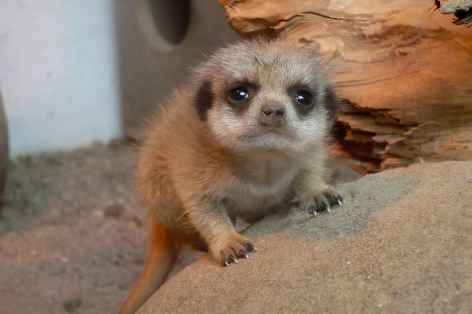The 20 Cutest Meerkat Pictures Awww Baby Meerkat Cute Animals