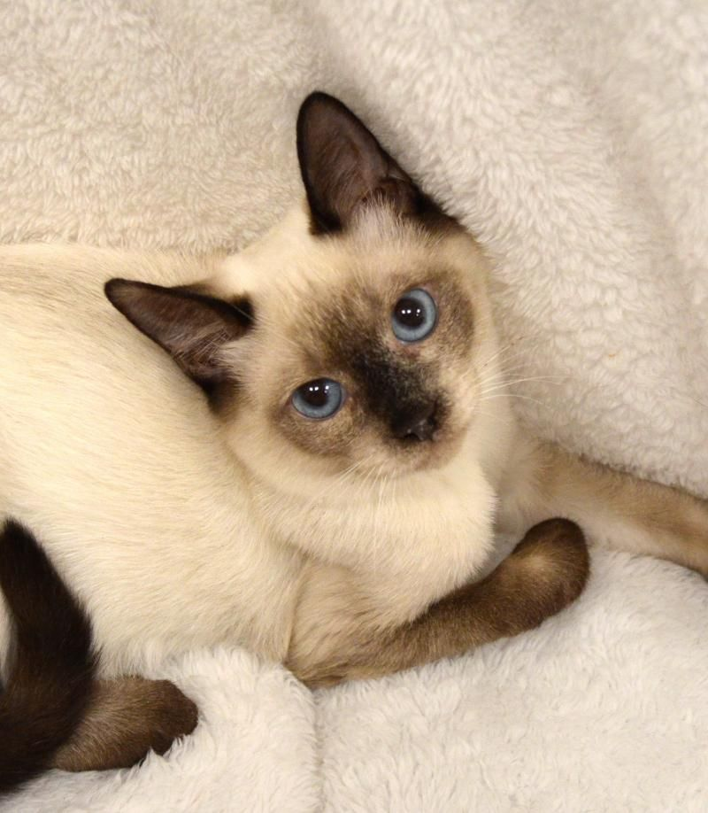 Adopt Newton On Asian Cat Siamese Cats Popular Breeds
