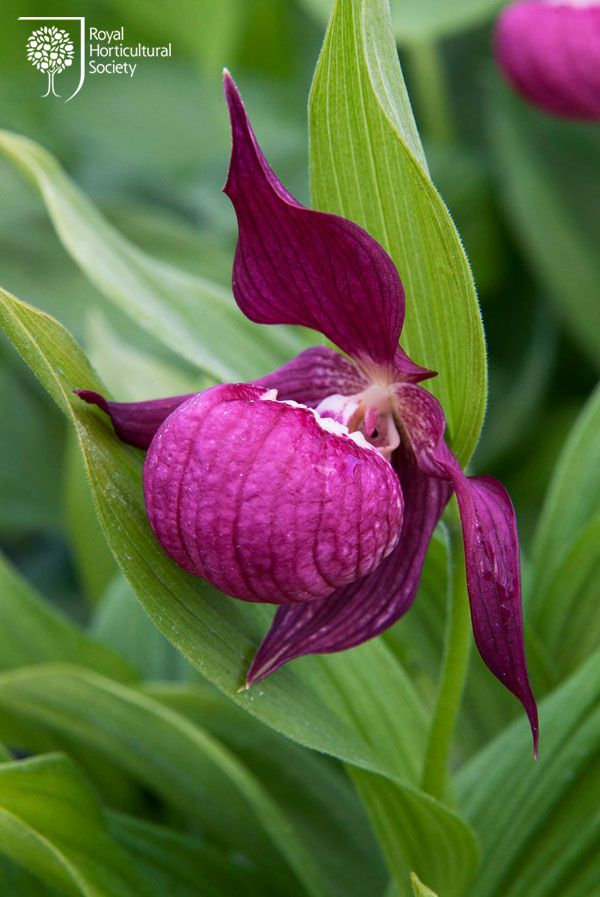 Video On Growing Orchids Rhs Gardening Orhidei