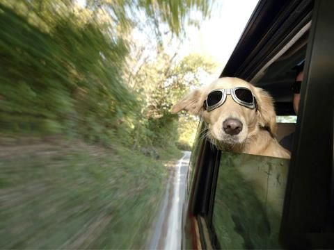 Dog With Sunglasses On With His Head Out Of The Car Window Funny