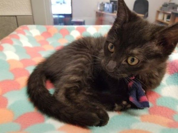 Domestic Short Hair Cat For Adoption In Denver Colorado Tiffany