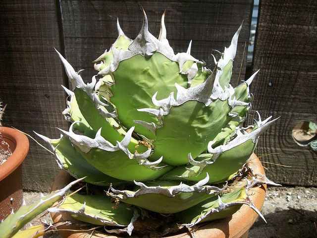 agave titanota fo-76 sierra mix-teca. By succulentville80