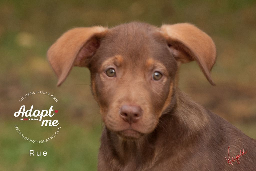 Rue Hurricane Harvey Female Labrador Retriever Puppy Adoptable Pets In Ohio Louie S Legacy Animal Rescue Pets Animals Animal Rescue