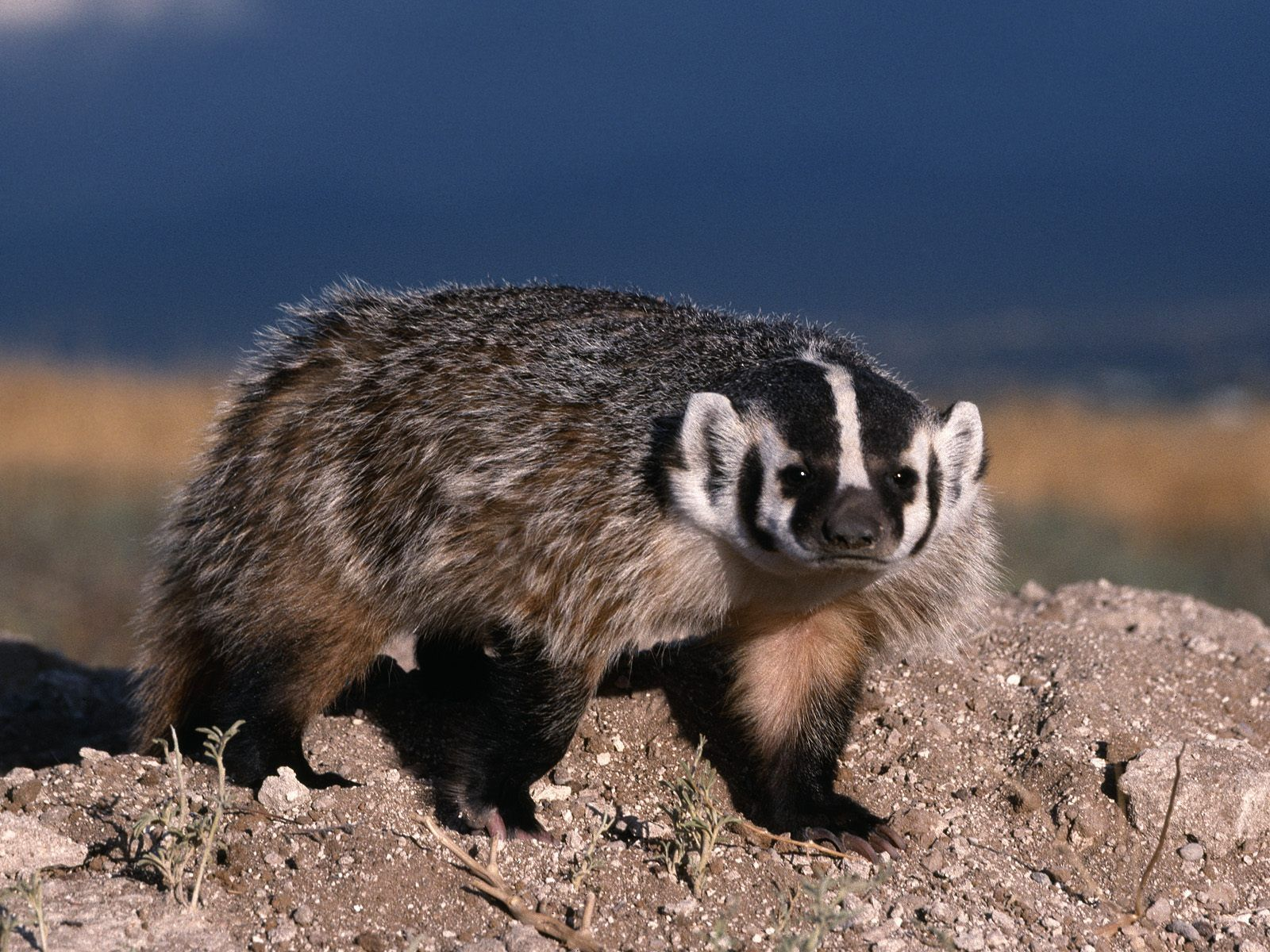 North American Badger North American Badger